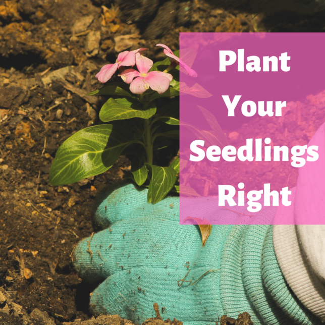 Click HERE for tips on planting your seedlings right.